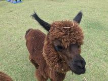 Alpaga di Brown che mangia erba in zoo aperto Fotografie Stock Libere da Diritti