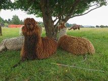 Alpaga di Brown che si siede sul vetro verde sotto l'albero Immagini Stock Libere da Diritti