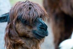 Alpaga di Brown con taglio di capelli alla moda Immagini Stock Libere da Diritti
