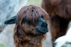 Alpaga di Brown con taglio di capelli alla moda Fotografia Stock