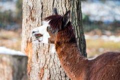 Alpaga di Brown con taglio di capelli alla moda e fondo confuso con lo sno Fotografie Stock Libere da Diritti