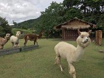 Alpaga di Brown e di bianco in zoo aperto Fotografie Stock