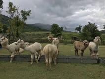 Alpaga di Brown e di bianco in zoo aperto Fotografia Stock