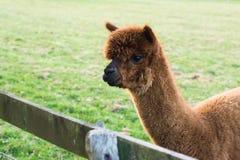 Alpaga di Brown nel campo verde Fotografia Stock