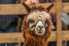 Alpaga di Brown originalmente dal Perù e dall'Ecuador Immagini Stock Libere da Diritti