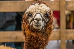 Alpaga di Brown originalmente dal Sudamerica Fotografia Stock