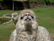 Alpaga di Huacaya Fotografia Stock