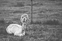 Alpaga di Shedded nella masticazione dell'azione Fotografia Stock Libera da Diritti