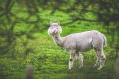 Alpaga di Shedded nella masticazione dell'azione Fotografie Stock
