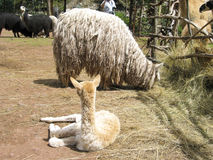 Alpaga di Suri Immagini Stock Libere da Diritti