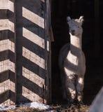 Alpaga di Whte con le ombre a strisce Fotografie Stock Libere da Diritti