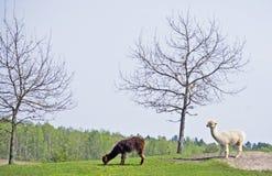 Alpaga drzewem zdjęcie stock