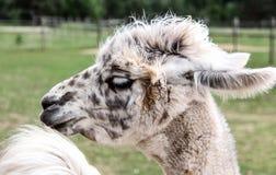 Alpaga e lama con l'acconciatura divertente Immagine Stock Libera da Diritti