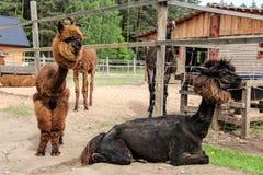 Alpaga e lama con l'acconciatura divertente Fotografie Stock Libere da Diritti