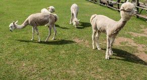 Alpaga e lama con l'acconciatura divertente Fotografia Stock Libera da Diritti