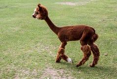 Alpaga e lama con l'acconciatura divertente Immagini Stock