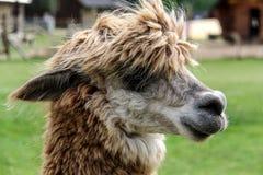 Alpaga e lama con l'acconciatura divertente Immagine Stock