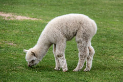 Alpaga e lama con l'acconciatura divertente Fotografia Stock