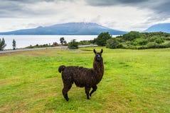 Alpaga e vulcano un giorno nuvoloso, Cile di Osorno Fotografia Stock