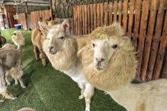 Alpaga ed i suoi amici in zoo aperto, fissante alla macchina fotografica Fotografie Stock