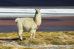 Alpaga en Salar de Uyuni, désert de la Bolivie Photos stock