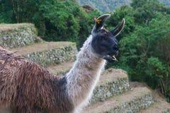 Alpaga etichettata su un terrazzo d'agricoltura su Inca Trail a Machu Picchu Immagini Stock Libere da Diritti