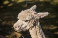 Alpaga felice Fotografie Stock Libere da Diritti