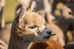 Alpaga felice Fotografia Stock Libera da Diritti