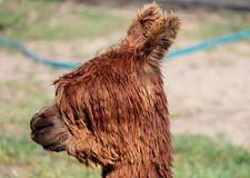 Alpaga femminile Immagine Stock Libera da Diritti