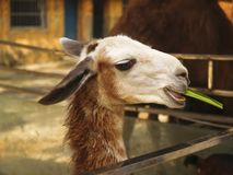 Alpaga fissare Immagine Stock Libera da Diritti
