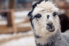 Alpaga grigia divertente sorpresa emozione Fotografia Stock Libera da Diritti