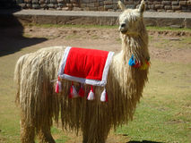 Lama disguised for tourists stock photography