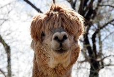 Alpaga idiot 2 Image libre de droits