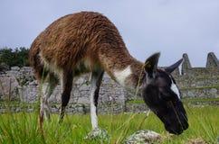 Alpaga (lama) in Machu Picchu, Perù, si del patrimonio mondiale dell'Unesco Fotografie Stock