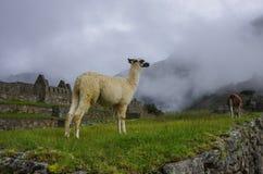 Alpaga (lama) in Machu Picchu, Perù, si del patrimonio mondiale dell'Unesco Fotografia Stock Libera da Diritti