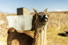 Alpaga, lana peruviana, Perù Fotografia Stock