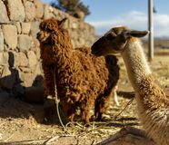Alpaga, lana peruviana, Perù Fotografie Stock Libere da Diritti