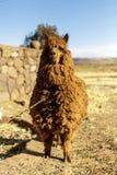 Alpaga, lana peruviana, Perù Fotografia Stock Libera da Diritti