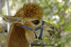 Alpaga, lane del lama o animale domestico Fotografia Stock Libera da Diritti