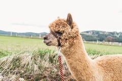Alpaga lanuginosa con la redine Fotografie Stock Libere da Diritti