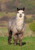 Alpaga mâle dans un domaine photo stock