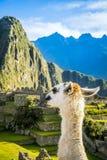 Alpaga in Machu Picchu Fotografia Stock Libera da Diritti