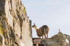 Alpaga in Machu Picchu Fotografie Stock Libere da Diritti