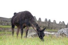 Alpaga a Machu Picchu, Perù Fotografia Stock Libera da Diritti