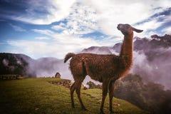 Alpaga in Machu Picchu, Perù Immagini Stock