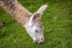 Alpaga in Machu Picchu, Perù Immagini Stock Libere da Diritti