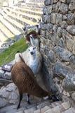 Alpaga a Machu Picchu, santuario storico peruviano e un Wo Immagini Stock Libere da Diritti