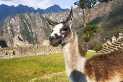 Alpaga a Machu Picchu, santuario storico peruviano e un Wo Fotografia Stock