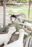 Alpaga mangeant l'herbe dans la ferme Image libre de droits