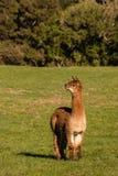 Alpaga marrone attenta in recinto chiuso Immagini Stock